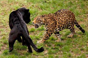 Panther își protejează teritoriul de intemperiile altor persoane