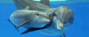 Black Sea bottlenose delfin caracteristicile caracteristice ale speciei