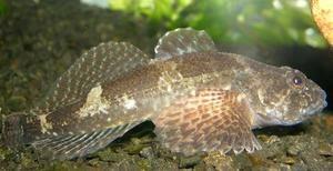 Marea Neagră Goby Fish