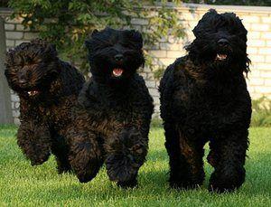 Terrierul negru: faimosul câine rusesc