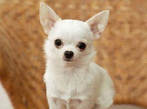 Chihuahua: întreținerea și îngrijirea catelului