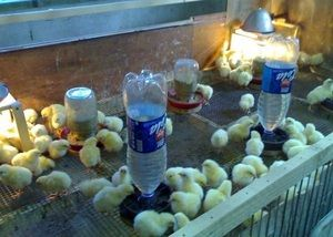 Metoda de aplicare Chicktonics pentru pui