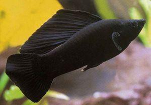 Black Beauty - moliezie de pește de acvariu. Îngrijire și îngrijire