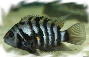 Black-footed cichlasmaa reproducere și conținutul