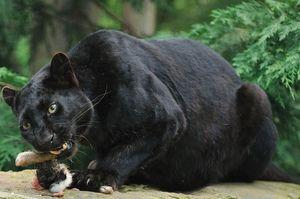Negru leopard