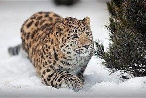 Stilul de viață Leopard