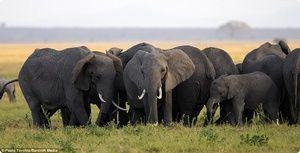 Elephant care se hrănește în captivitate