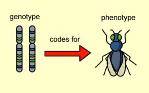 Ce este un fenotip