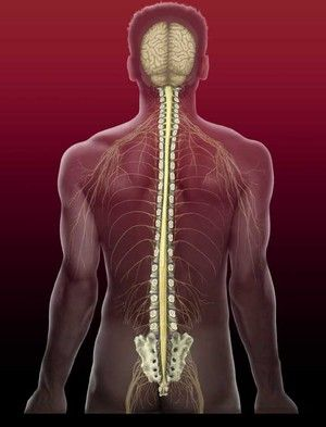 Măduva spinării umane