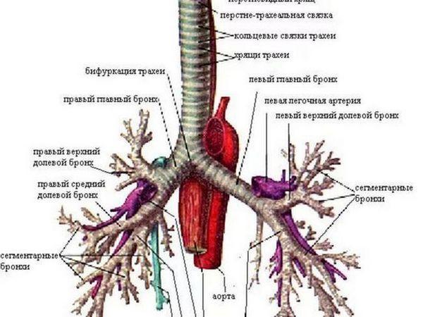 Modul în care sistemul respirator este aranjat în corp