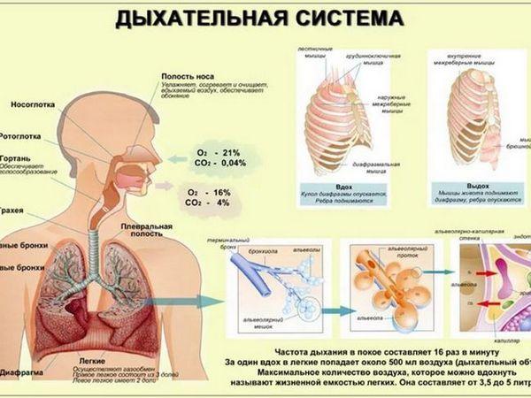 Gât respirator sau trahee