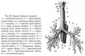 Structura traheei