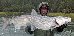 Alb pește alb-gât