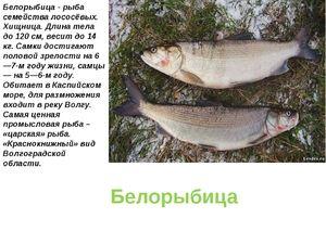 Cum arată peștele ca peștele alb