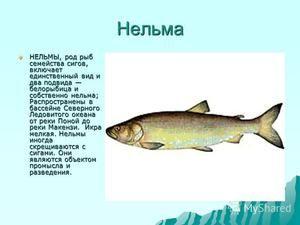 Caracteristicile peștilor