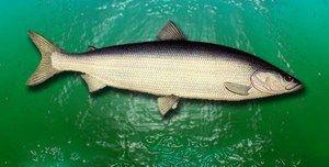 Caracteristici de pescuit