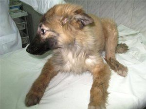 Punga pentru câini: semne, simptome, tratament