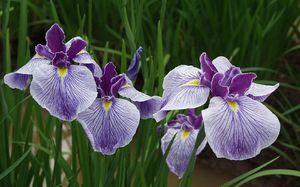 Flori de Iris: recomandări pentru transplant și îngrijire