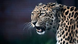 Leopardul din Orientul Îndepărtat - ce fel de animal este acesta?