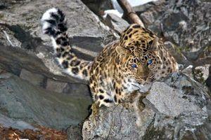 Leopardul din Orientul Îndepărtat - trăsături de aspect
