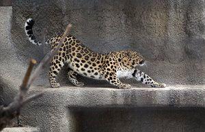 Leopardul din Orientul Îndepărtat al lui Meser trăiește în captivitate