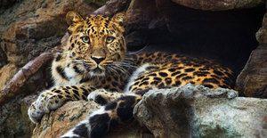 Leopardul din Orientul Îndepărtat - reproducerea și creșterea puilor