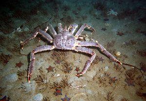 Far de crab din regiunea Kamchatka