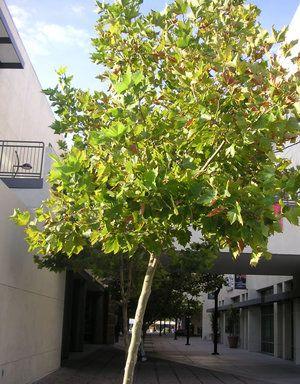 Arborele lui Platanus