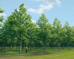 Cultivarea unui copac