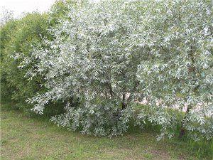 Metode de reproducere a argintului arbustilor
