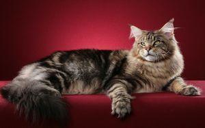 Cleverest rase feline