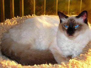 Pisica adultilor din rasa biliala
