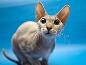 Surprins pisica-sfinx