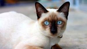 O pisică tânără siamică