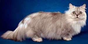 Cat-dachshund - Munchkin
