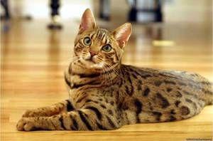 acasă affectionate pisica Bengal