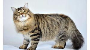Pisică sibiană pufoasă