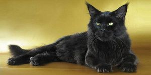 Pisica neagra Maine Coon este o pantera mica