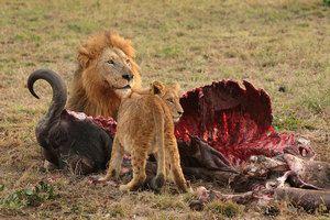 Prădătorii sălbatici din Africa, caracteristicile speciilor