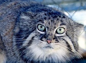 Pisică sălbatică