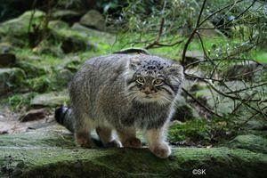Cat Manul