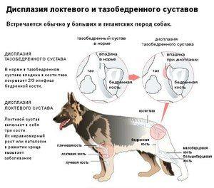 Câini-displazie în articulațiile șoldului