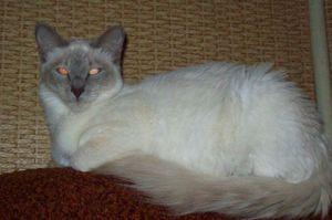 Pisici orientale cu păr lung: descrierea rasei