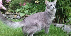 Pisica albastră orientală