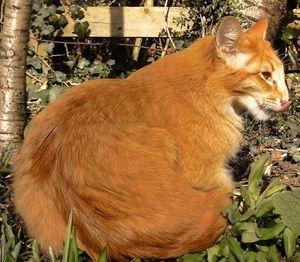 Pisica orientala rosie