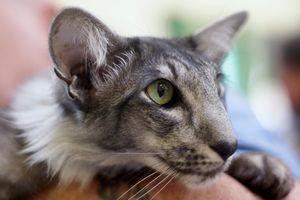 Conținutul pisicii orientale acasă