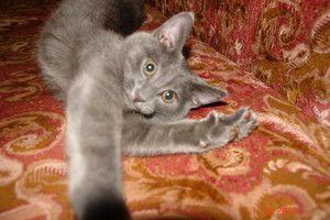 Cum se determină vârsta unei pisici