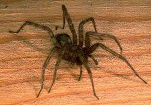 Spiderii de acasă: principalele tipuri de păianjeni domestici