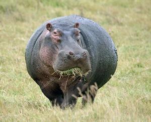 Hipopotamul mănâncă