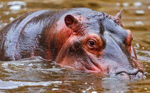 Hippo înotă